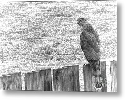 Red Tailed Hawk  Metal Print by Olivier Le Queinec