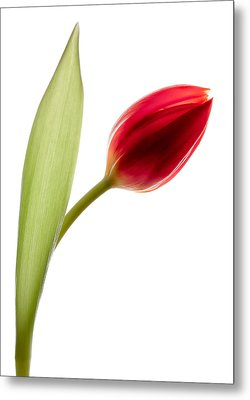 Red Tulip Metal Print by Dave Bowman