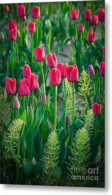 Red Tulips In Skagit Valley Metal Print by Inge Johnsson