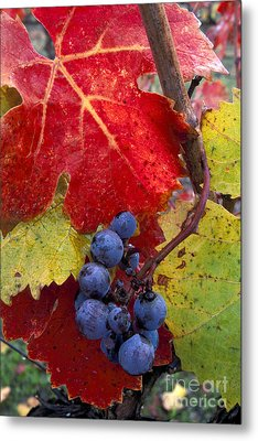 Red Wine Grapes And Leaves In Fall  Metal Print by Gary Crabbe