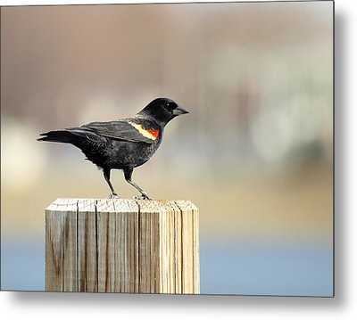 Red Winged Blackbird Metal Print by Thomas Young
