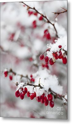Red Winter Berries Under Snow Metal Print by Elena Elisseeva