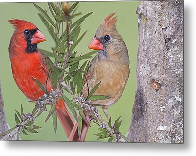 Redbirds Face To Face Metal Print by Bonnie Barry