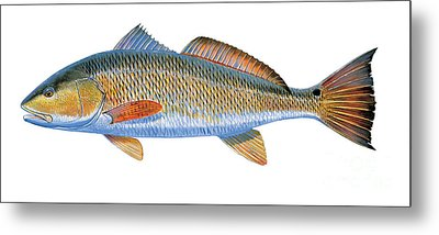 Redfish Metal Print by Carey Chen