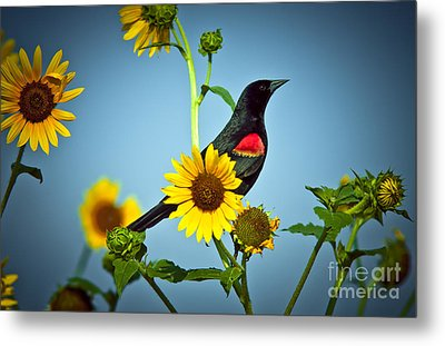 Redwing In Sunflowers Metal Print by Robert Frederick
