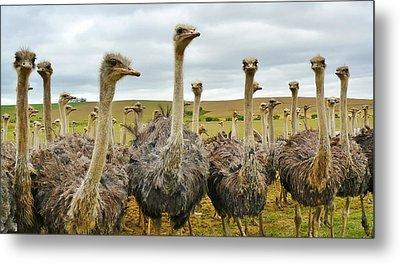 Residents Of An Ostrich Farm Metal Print by Mountain Dreams