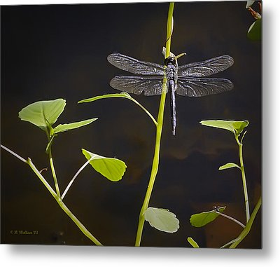 Resting Dragon Metal Print by Brian Wallace