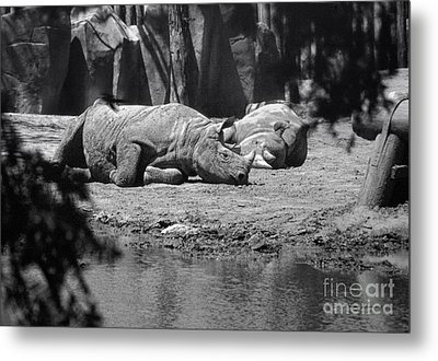 Rhino Nap Time Metal Print by Thomas Woolworth