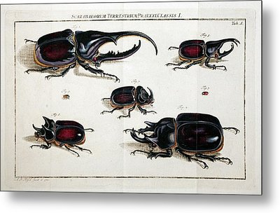 Rhinoceros Beetles Metal Print by Paul D Stewart
