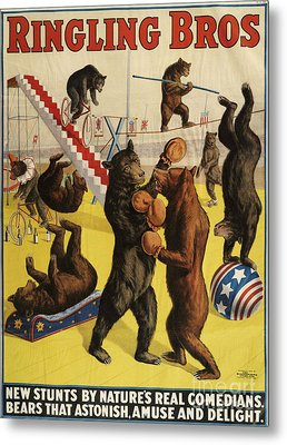 Ringling Bros 1900s Bears Performing Metal Print by The Advertising Archives
