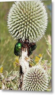 Rose Chafers And Ants On Thistle Flowers Metal Print by Bob Gibbons