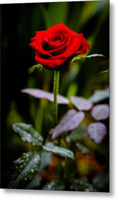Rose Singapore Flower Metal Print by Donald Chen