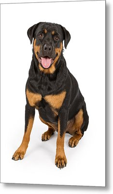Rottweiler Dog Isolated On White Metal Print by Susan Schmitz