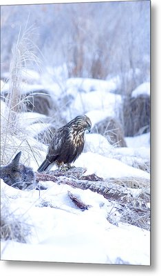 Rough Legged Hawk On Deer Carcass Metal Print by Gregory K Scott