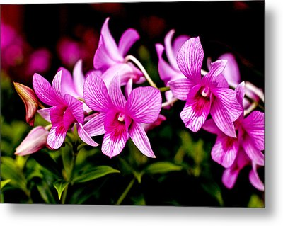 Royal Pink Orchid Metal Print by Donald Chen