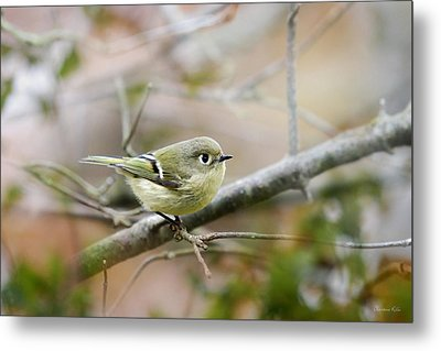 Ruby-crowned Kinglet Metal Print by Christina Rollo