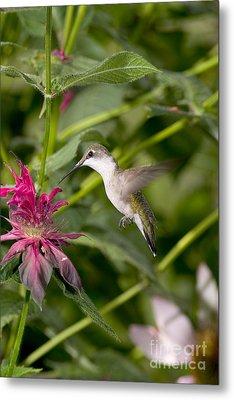 Ruby-throated Hummingbird Metal Print by Gregory K Scott