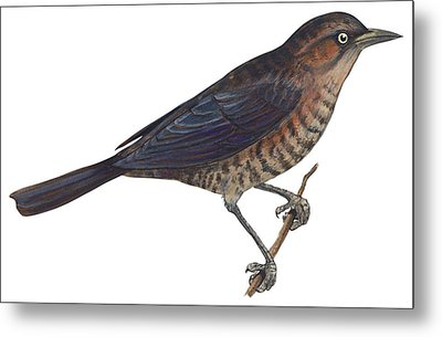 Rusty Blackbird  Metal Print by Anonymous