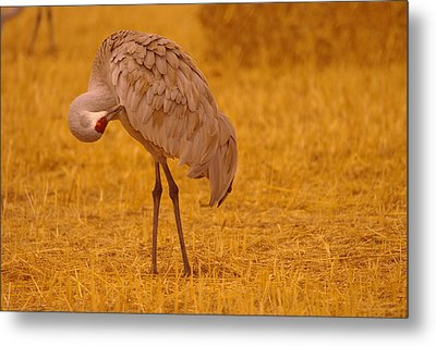 Sandhill Crane Preening Itself Metal Print by Jeff Swan