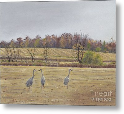 Sandhill Cranes Feeding In Field  Metal Print by Jymme Golden