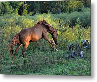 Sandy The Roan Cavorting  - C0094e Metal Print by Paul Lyndon Phillips
