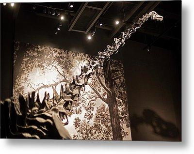 Sauropod Dinosaur Fossil Display Metal Print by Jim West
