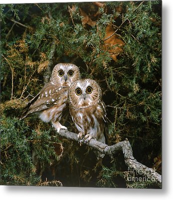 Saw-whet Owls Metal Print by G Ronald Austing