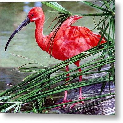 Scarlet Ibis Metal Print by Millard H. Sharp