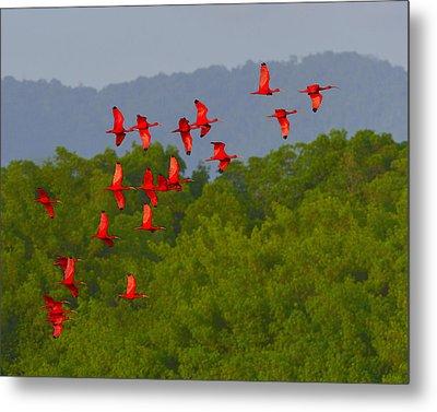 Scarlet Ibis Metal Print by Tony Beck
