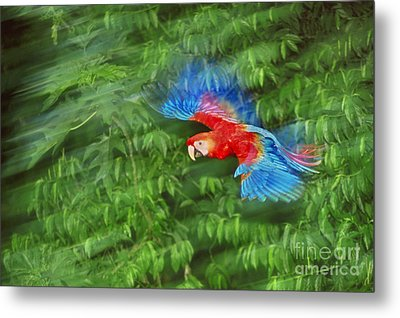 Scarlet Macaw Juvenile In Flight Metal Print by Frans Lanting MINT Images