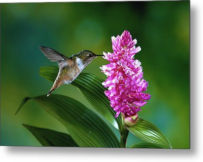 Scintillant Hummingbird Selasphorus Metal Print by Michael and Patricia Fogden