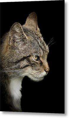 Scottish Wildcat Metal Print by Paul Neville
