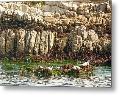 Sea Lions In Monterey Bay Metal Print by Artist and Photographer Laura Wrede
