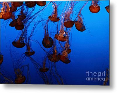 Sea Nettle Jelly Fish 5d24939 Metal Print by Wingsdomain Art and Photography