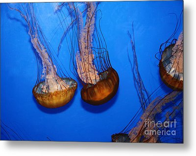 Sea Nettle Jelly Fish 5d25076 Metal Print by Wingsdomain Art and Photography