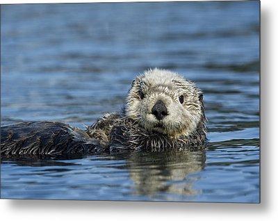 Sea Otter Alaska Metal Print by Michael Quinton