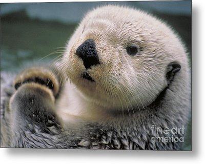 Sea Otter Metal Print by Art Wolfe