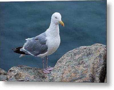 Seagull Metal Print by Sebastian Musial
