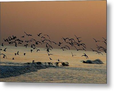 Seagulls Feeding At Dusk Metal Print by Beth Andersen