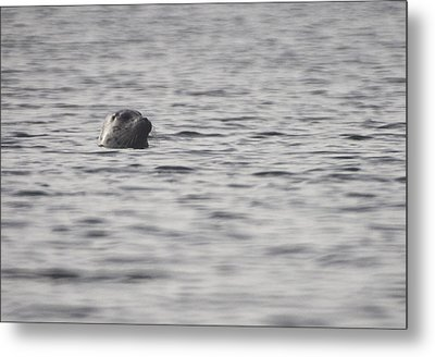 Seal Metal Print by Graham Foulkes