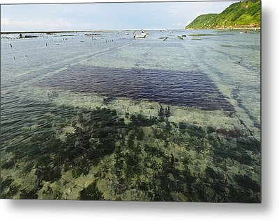 Seaweed Farming, Bali Metal Print by Science Photo Library