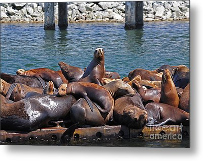 Sentry Sea Lion And Friends Metal Print by Susan Wiedmann
