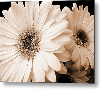 Sepia Gerber Daisy Flowers Metal Print by Jennie Marie Schell