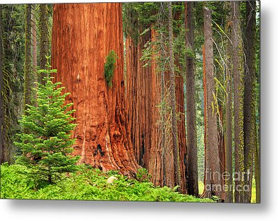 Sequoias Metal Print by Inge Johnsson