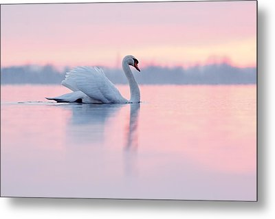 Serenity   Mute Swan At Sunset Metal Print by Roeselien Raimond