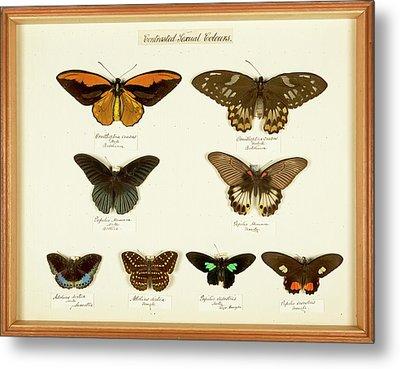 Sexual Dimorphism In Butterflies Metal Print by Natural History Museum, London