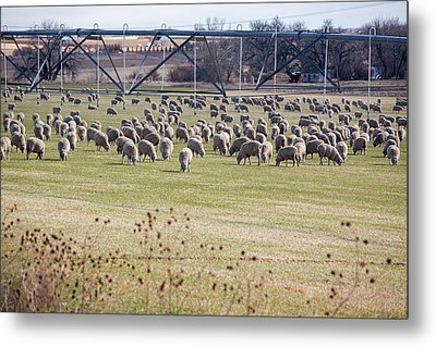 Sheep Grazing Under An Irrigation Boom Metal Print by Jim West
