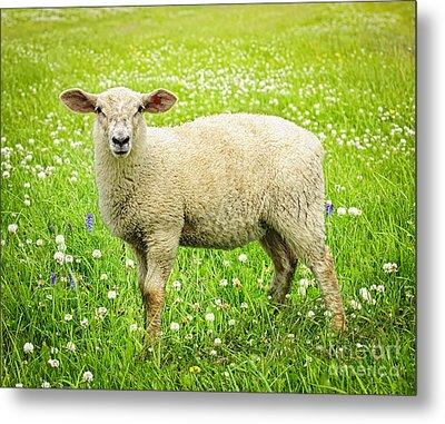 Sheep In Summer Meadow Metal Print by Elena Elisseeva