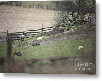 Sheep Life Metal Print by Graham Foulkes