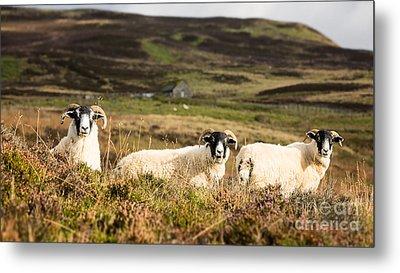 Sheep Trio Metal Print by Jane Rix